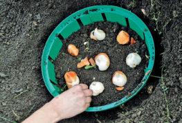 Посадка тюльпанов в корзину для луковичных