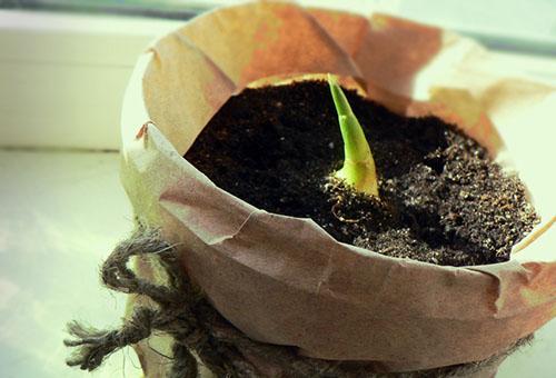 Проращивание имбиря