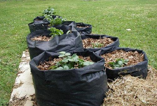 Выращивание картошки в мешках