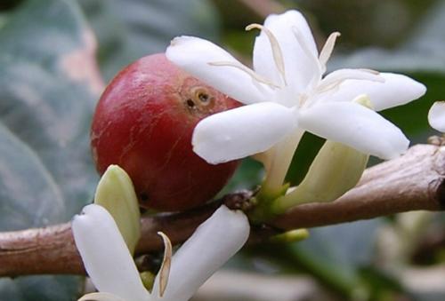 Цветок и плод кофе