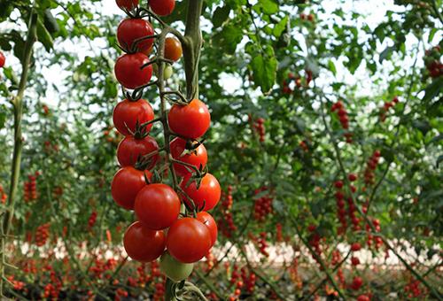 Созревшие томаты черри