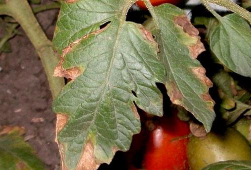 Поврежденный лист томата
