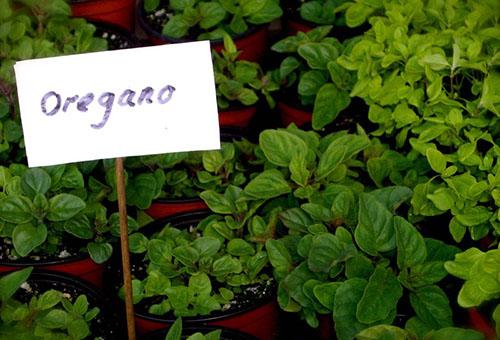 Выращивание орегано