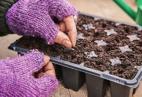 Выращивание лука порея в условиях холодного климата