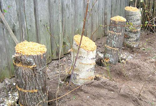 Поленья для выращивания грибов