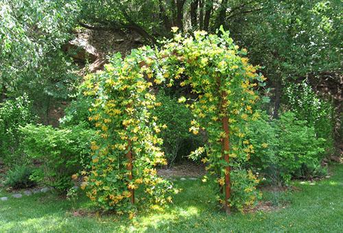 Цветущая жимолость на арочной опоре