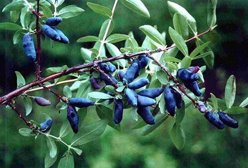 Ветвь жимолости с ягодами
