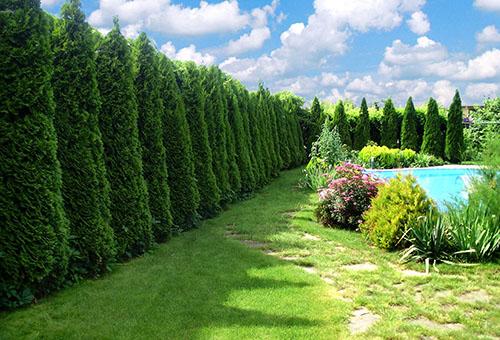 Живой забор из деревьев