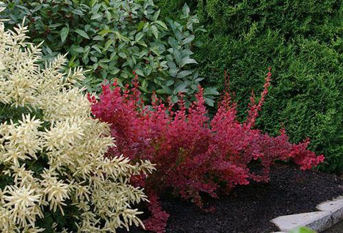 Куст барбариса с красной листвой