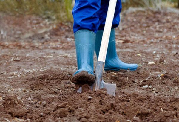 Бобы: посадка и уход в открытом грунте, особенности агротехники