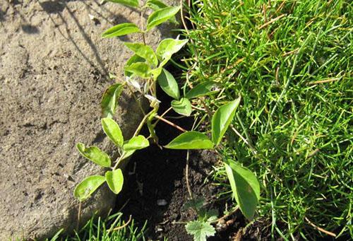 Глициния на урале выращивание