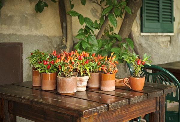 Декоративные горькие перцы в горшках