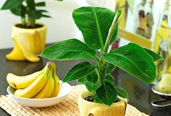 Декоративный банан в горшке