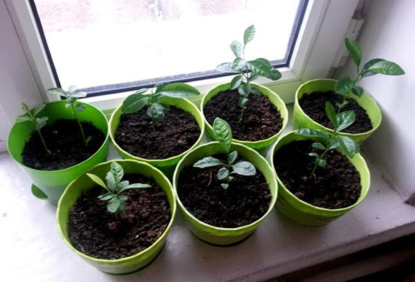 Выращивание манго в квартире