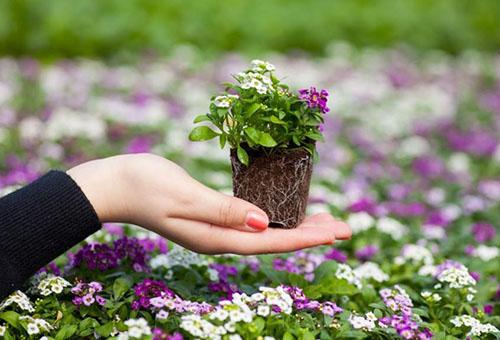 Высадка рассады цветов