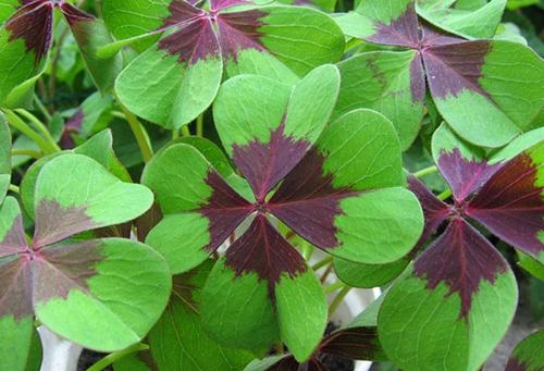 Листья оксалиса