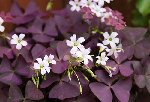 Кислица садовая с фиолетовыми листьями