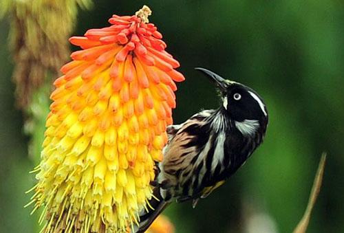 Птица на цветке книфофии
