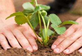 Посадка куста садовой земляники