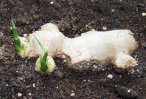 Прорастающее корневище имбиря