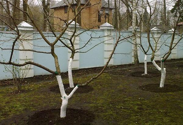Черешни в весеннем саду