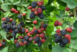 Зреющие ягоды ежевики