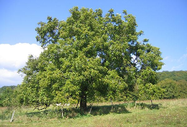 Старое дерево грецкого ореха