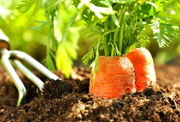 Как часто поливать морковь после посадки семян?