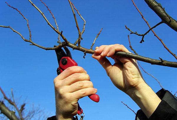 Как правильно посадить грушу и ухаживать за ней