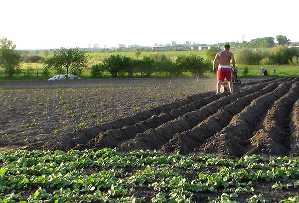 Когда окучивать картошку после посадки: оптимальные сроки