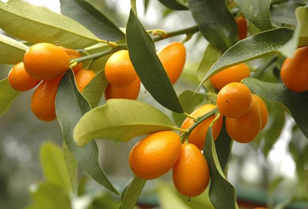 Кумкват с плодами
