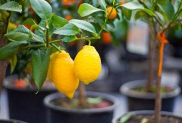 Лимоны в горшках