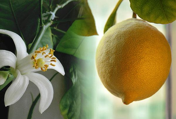 Цветок и плод лимона