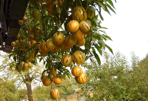 Плоды пепино на ветке