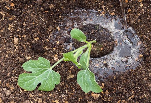 Посадка рассады арбуза в открытый грунт