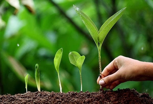 Выращивание черемши на даче: особенности посадки и ухода
