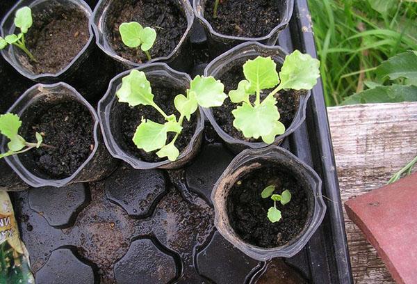 Высаживание рассады декоративной капусты