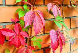 Девичий виноград на кирпичной стене