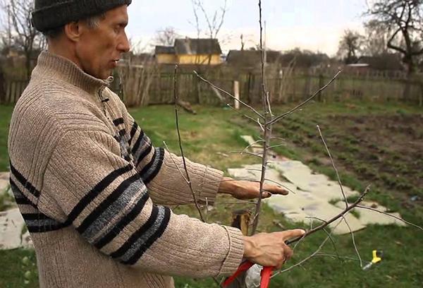 Посадка саженца яблони весной