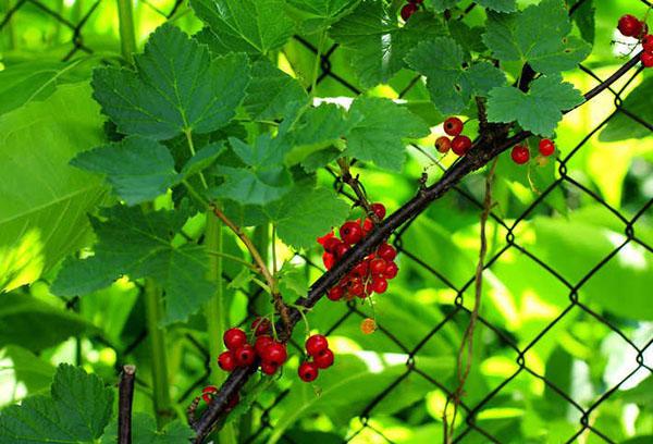Красная смородина с ягодами