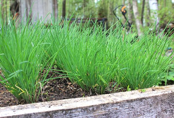 Лук шнитт: выращивание из семян, посадка в открытый грунт и уход