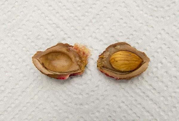 Расколота косточка персика