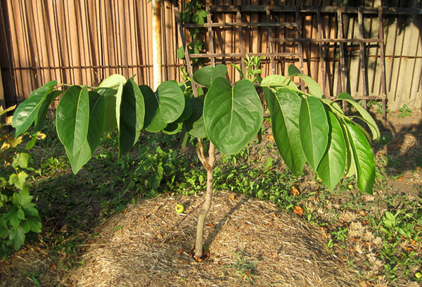 Молодое деревце персика