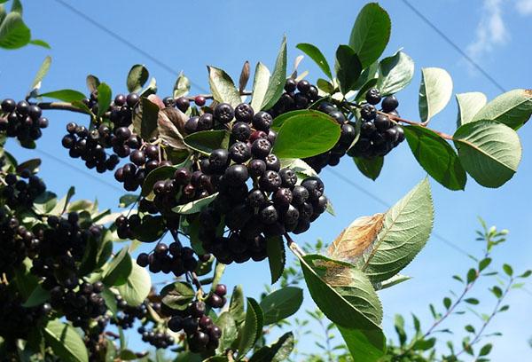 Черноплодная рябина выращивание и уход