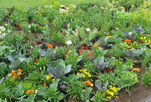 Уплотненная посадка овощей и зелени