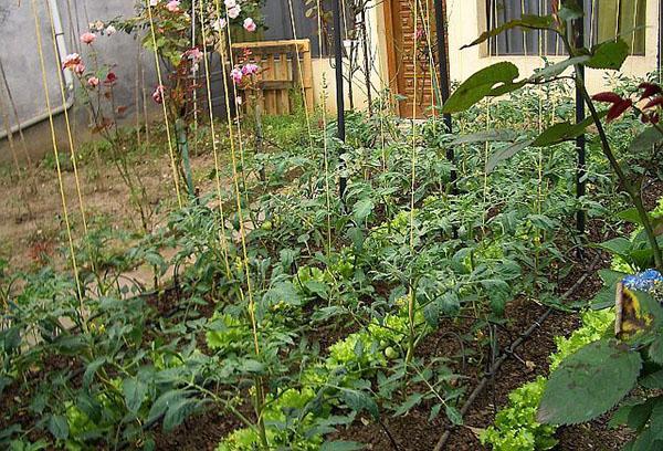 Совместное выращивание томатов и салата