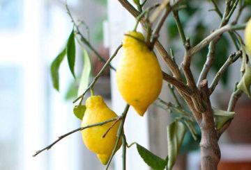 Плоды комнатного лимона
