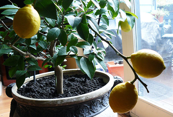 Комнатный лимон с плодами