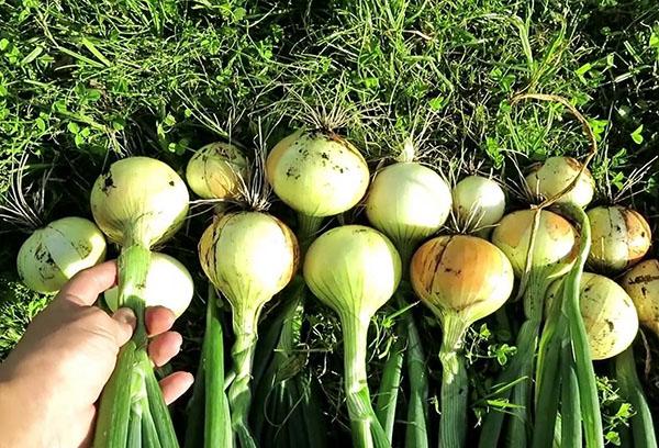 Сбор урожая лука