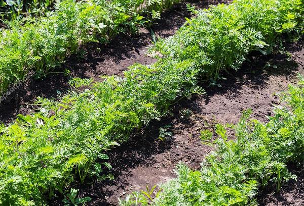 Морковь: посадка и уход в открытом грунте, сроки посева